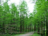 水杉(shan)樹