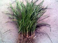麥(mai)冬草