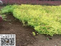 金焰繡(xiu)線菊