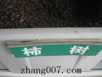柿(shi)樹種子(zi)