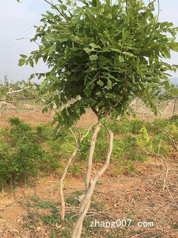 紫藤树喜欢阳光吗图片